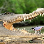 крокодил и птичка